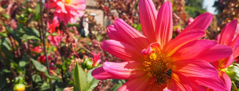 A pink flower with a bee in the middle
