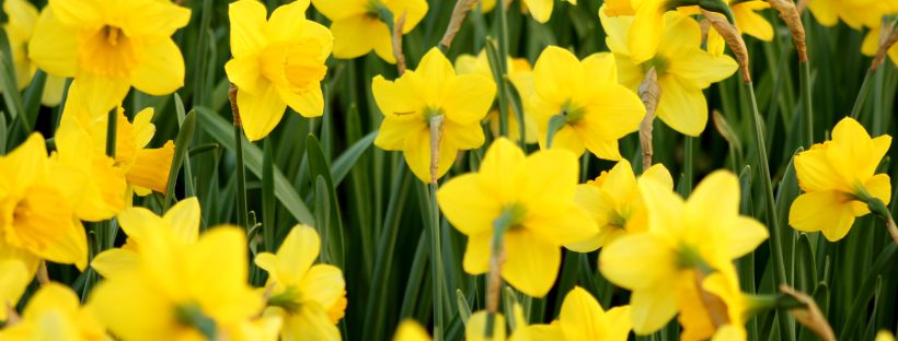 A lot of bright yellow daffodils