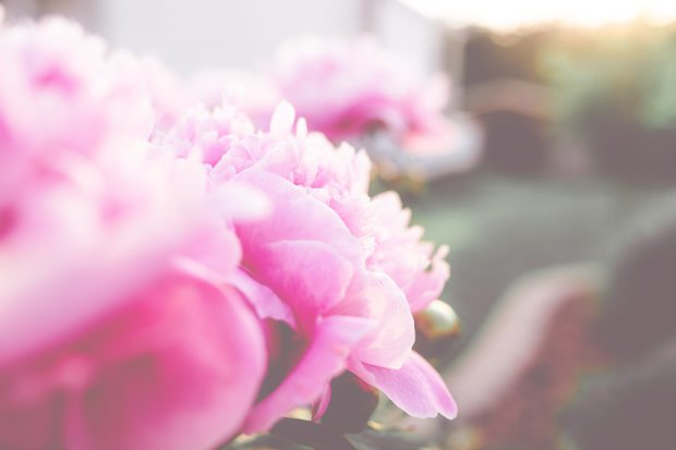 pink peonies fading into sunshine