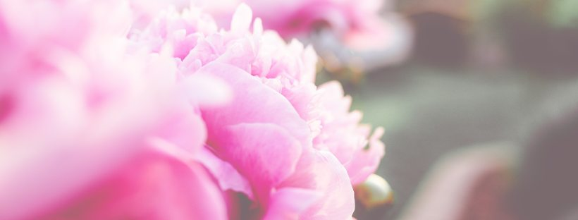 pink peonies fading into sunshine