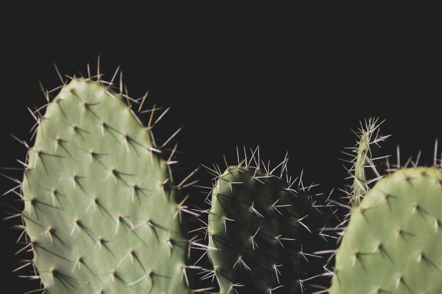 sharp spiky cacti against a black background