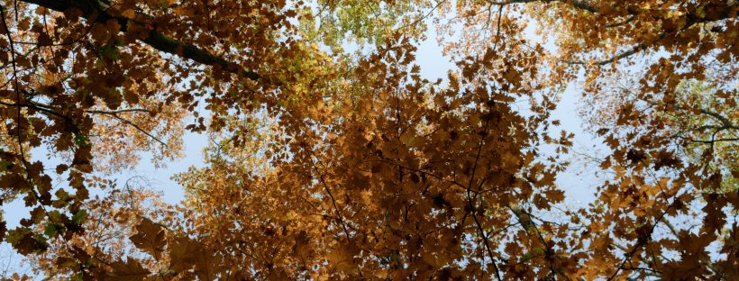 Looking up into an autumnal canopy of trees