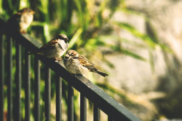 Three sparrows sitting on a railing