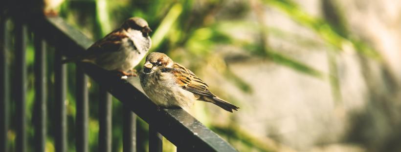 Three sparrows sitting on a railing